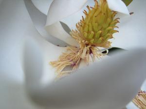 Magnolia02blog